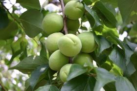 梅は青森県産の豊後梅を使用しています。